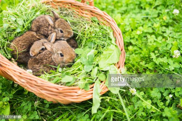 young rabbits in a basket on a green grass - march month stock pictures, royalty-free photos & images