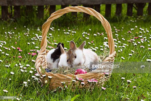 Young Rabbits (Oryctolagus cuniculus forma domestica) in an Easter basket on a flowery meadow