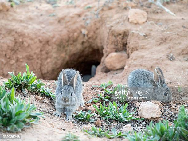 young rabbits looking for food near its burrow ( Species Oryctolagus cuniculus.)