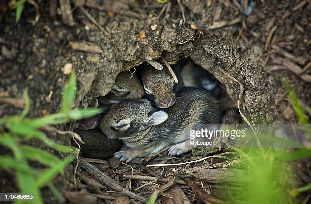 Young rabbits sleeping in a hole NJ New Jersey United States