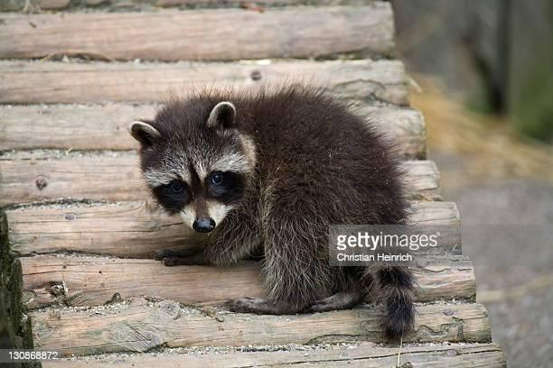 Young raccoon (Procyon lotor)