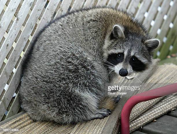 A young Raccoon spends the day sleeping on the upper back deck of my house in the Beaches