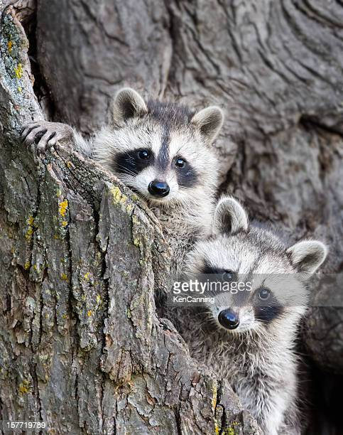 young racoons - raccoon stock pictures, royalty-free photos & images