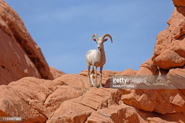 young ram posing front & center - state park stock pictures, royalty-free photos & images