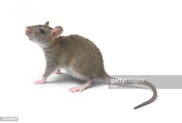 young rat - rat stock pictures, royalty-free photos & images