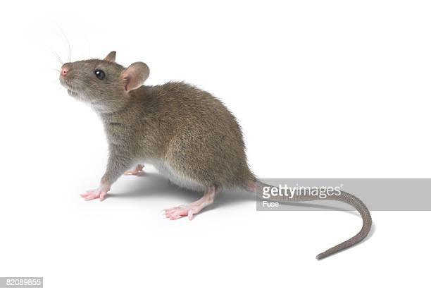 young rat - ratazana imagens e fotografias de stock