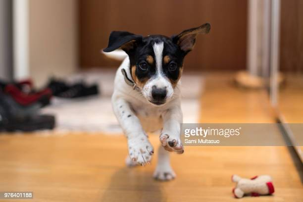 young rat terrier running in house - puppies - fotografias e filmes do acervo
