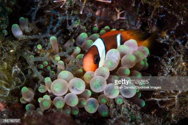 A young red and black anemonefish snuggles into its host anemone.