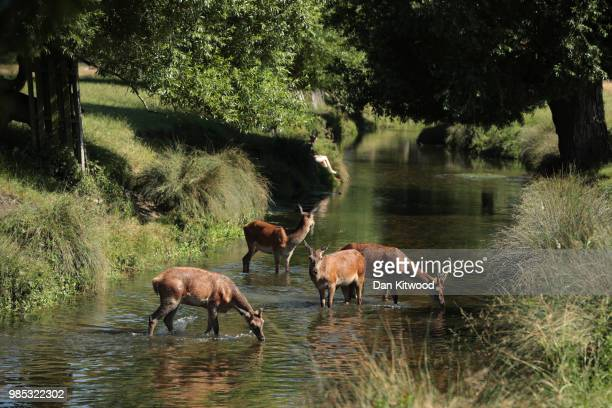 Young Red Deer cool off in a stream in Richmond Park on June 27, 2018 in London, England. Parts of the UK continue to bask in heatwave weather with...