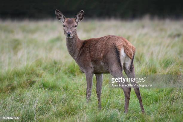 a young red deer doe standing - femmina di daino foto e immagini stock