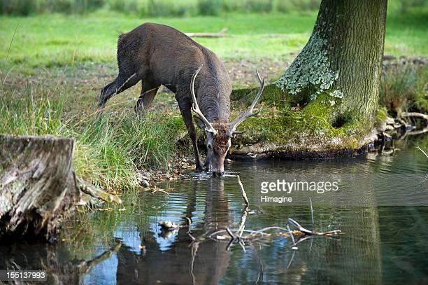 Junge red deer Trinken