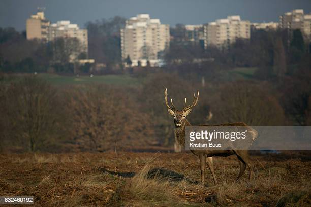 A young red deer stag in Richmond Park enjoy the winter sun January 22nd 2017 in London Hundreds of wild red and fallow deer roam freely in the park...