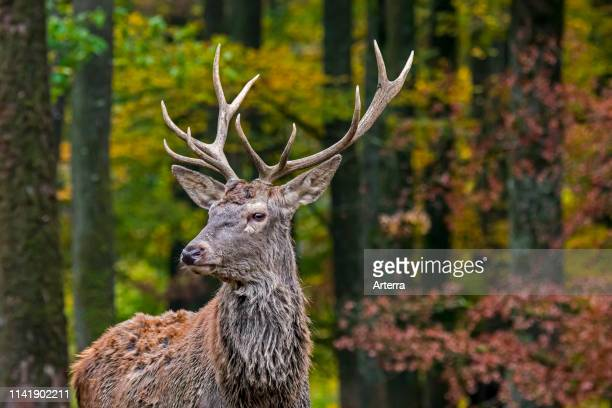 Young red deer stag / male in autumn forest in the Ardennes during the hunting season.