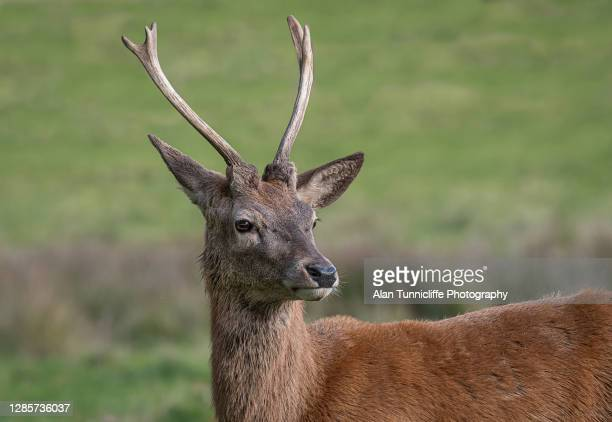 young red deer stag - deer stock pictures, royalty-free photos & images