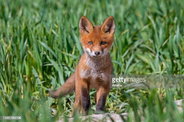 Young red fox single kit emerging from burrow entrance in grassland / meadow in spring