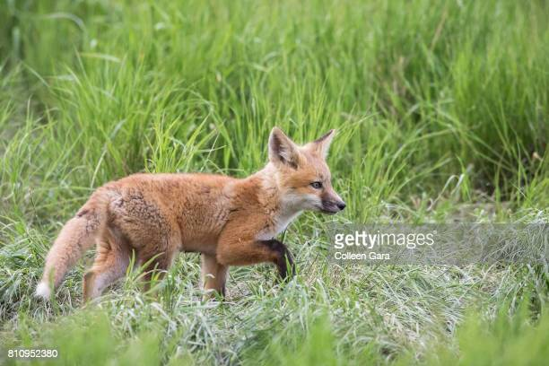 Young Red Fox, vulpes vulpes, Outside Den in Alberta Prairies