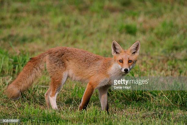 Young red fox -Vulpes vulpes- with a white hind leg standing on a mowed lawn, Allgaeu, Bavaria, Germany, Europe