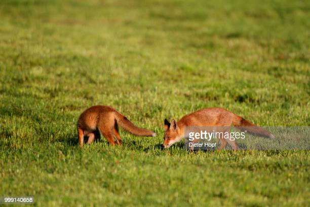 young red foxes (vulpes vulpes) on cut meadow, allgaeu, bavaria, germany - vista lateral stock pictures, royalty-free photos & images