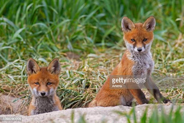 Young red foxes two kits emerging from burrow entrance in grassland / meadow in spring
