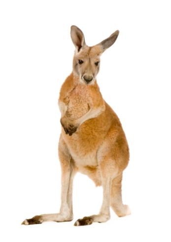 Young red kangaroo (9 months) - Macropus rufus 93214279