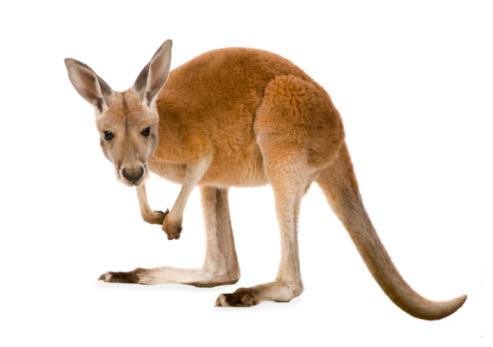 Young red kangaroo (9 months) - Macropus rufus 93214326