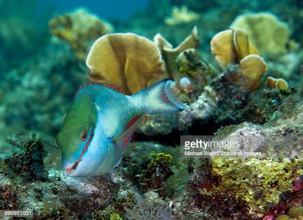 A young Redband Parrotfish, Key Largo, Florida.