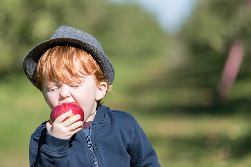 Young Redhead Baby Boy Picking Apples in Orchard - gettyimageskorea
