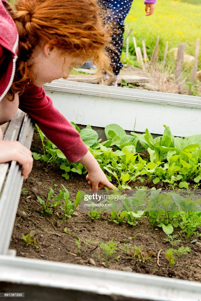 Young redhead girl showing a growing radish in home garden. : Stock Photo