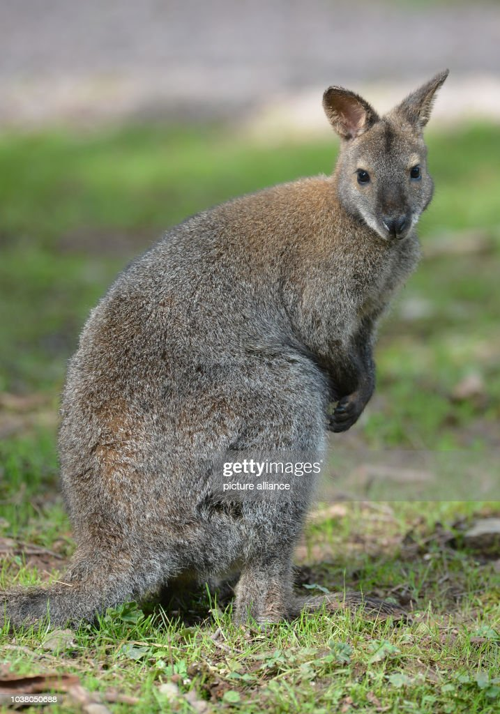 A Young Red Necked Wallaby From Tasmania Sits On The Grass In News Photo Getty Images