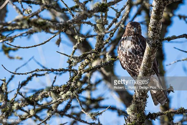 a young red-tailed hawk watches for movement in the grass below - wildlife reserve stock pictures, royalty-free photos & images