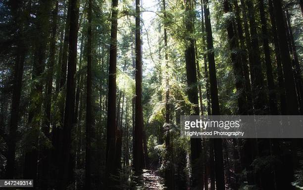 young redwood grove - highlywood stock pictures, royalty-free photos & images