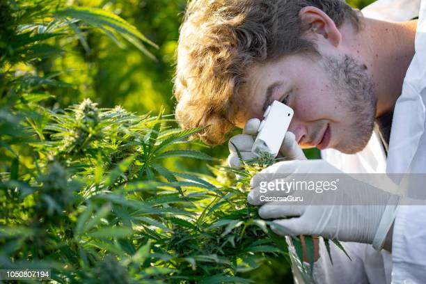 young researcher using small microscope to check cannabis trichomes stage - pest stock photos and pictures