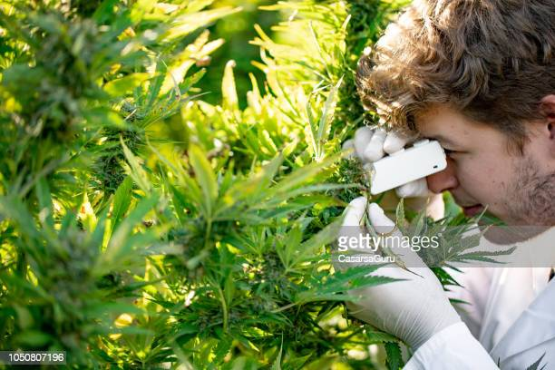 young researcher using small microscope to check cannabis trichomes stage - medical cannabis stock pictures, royalty-free photos & images