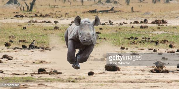 Young rhino running in Savannah, Zimbabwe