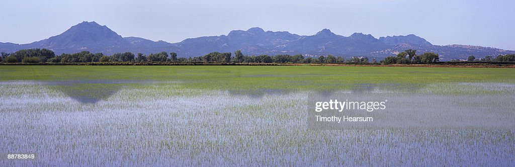 Young rice field with mountains and reflections : Stock Photo