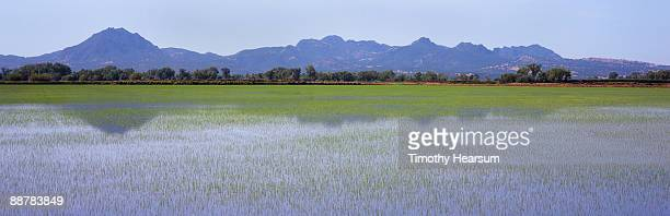 young rice field with mountains and reflections - timothy hearsum stock photos and pictures