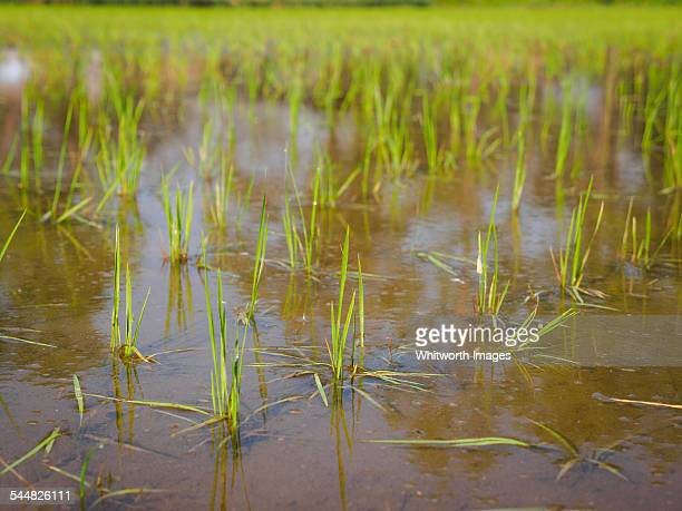 Young rice in a flooded paddy in Nepal
