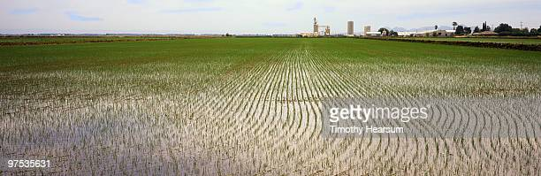 young rice in flooded field; farm buildings beyond - timothy hearsum stock-fotos und bilder