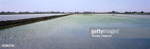 young rice plants in flooded field - san joaquin valley stock pictures, royalty-free photos & images