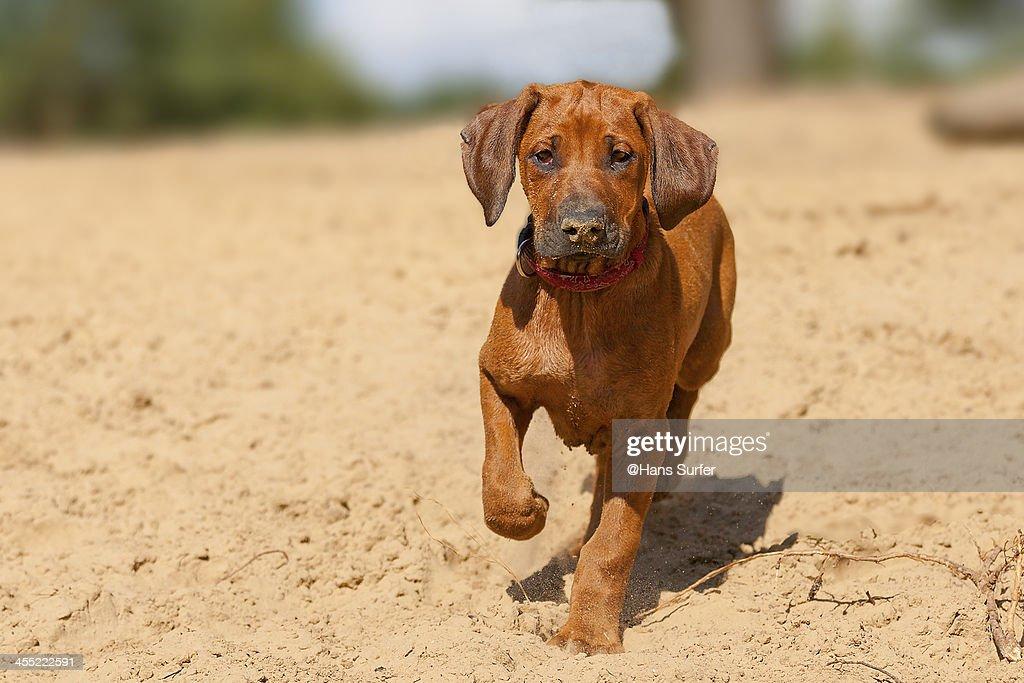Young Ridgeback puppy! : Stock Photo