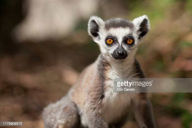 young ring tailed lemur - lemur stock pictures, royalty-free photos & images