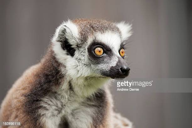 Young ring tailed Lemur