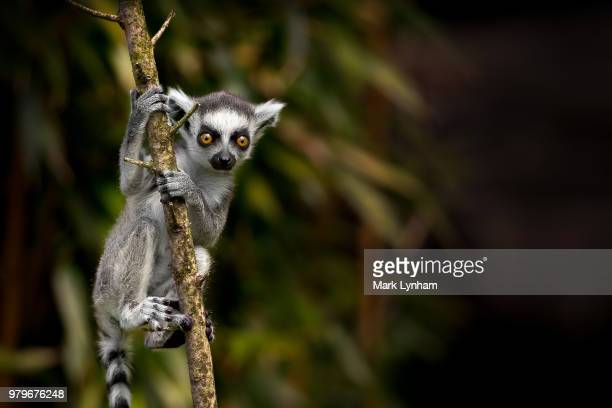 young ring-tailed lemur (lemur catta) climbing tree against sparse blurry background, madagascar - lemur stock pictures, royalty-free photos & images