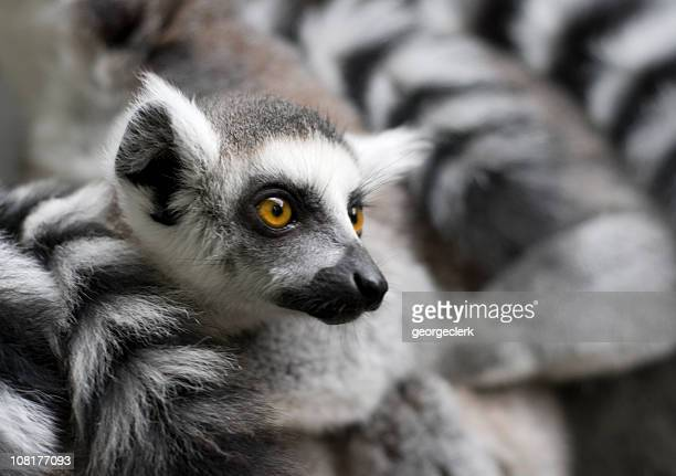 young ring-tailed lemur - lemur stock photos and pictures