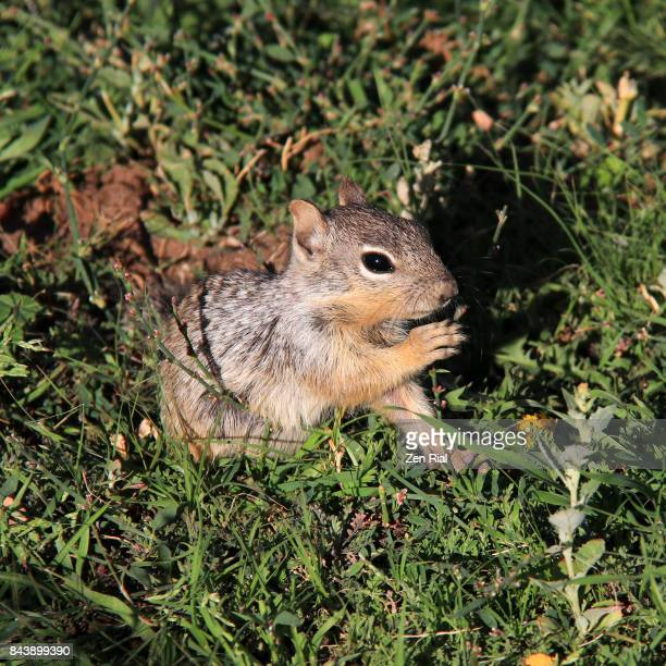 A young Rock Squirrel (Otospermophilus variegatus) eating grass