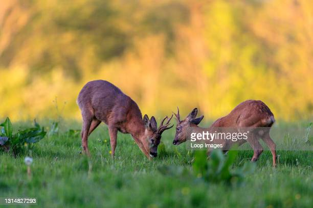 Young Roe Deer buck challenging an older male.