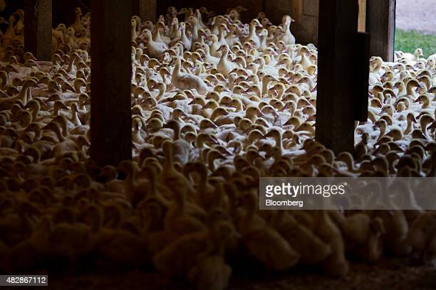 Young Rohan ducks gather in a barn where they are bred for the D'Artagnan specialty meat company in Cochecton New York US on Thursday July 9 2015...