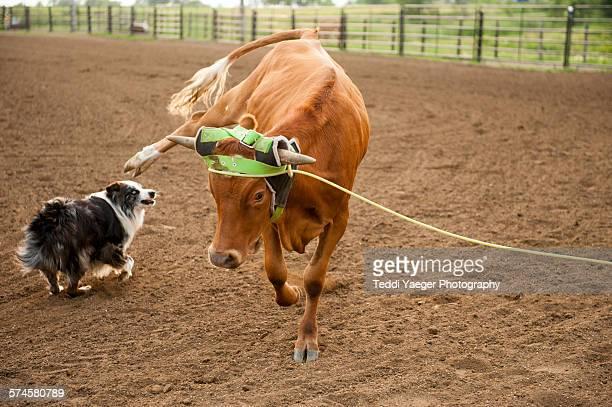 a young roped steer kicks herding dog - cão adestrado - fotografias e filmes do acervo