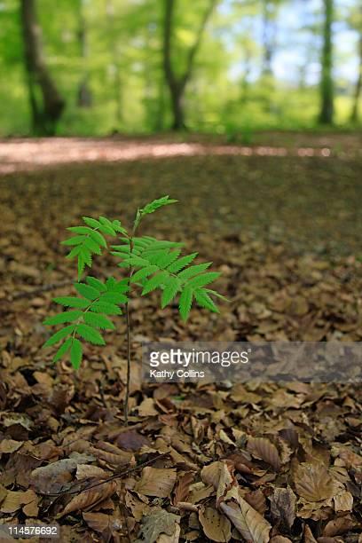 Young Rowan sapling tree growing in woodland