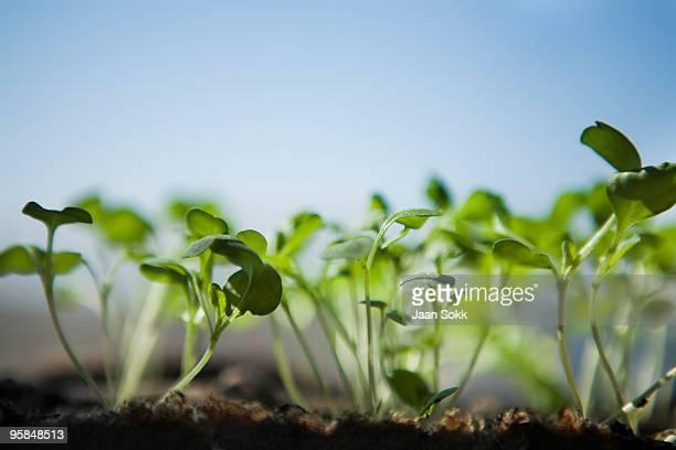 Young rucola plants on window ledge